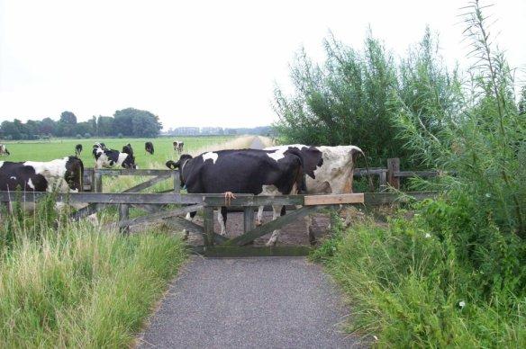 overstekende-koeien