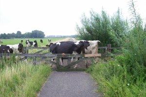 overstekende koeien